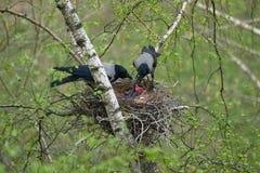Free Crows Feeds Baby Birds Stock Photo - 115954470