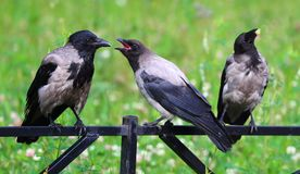 The crows on the fence. Three crows on the metal fence stock image