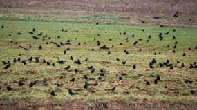 Crows On Field Stock Image