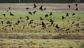 Crows On Field Royalty Free Stock Images