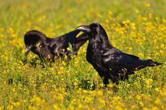 Crows in a field of flowers. Royalty Free Stock Photography
