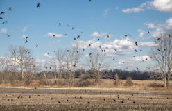 Crows in flight. Black crows in flight and in a corn field Royalty Free Stock Photo