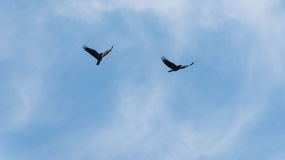 Crows in flight stock image