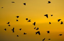 Crows fling in sky at sunset. Flock of crows fling in sky at sunset in Sri Lanka stock photo