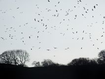 Crows flocking over winter forest trees at twilight. A late number of rows flocking over winter forest trees at twilight before roosting Stock Photos