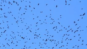 Crows fly in the blue sky. Weather change stock video