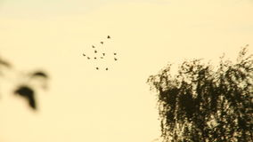 Crows fly stock video footage