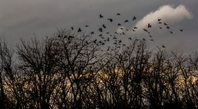 Crows fly over the bare trees at sunset. Crows fly over the bare trees at gold sunset Royalty Free Stock Photo