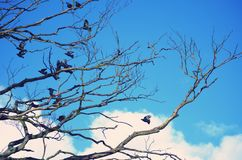 Crows fly over branches Royalty Free Stock Photos