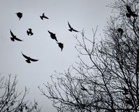 Crows flying amongst bare winter tree branches royalty free stock image