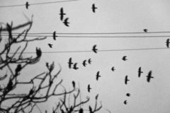 Crows flying on a background of wood and electrical wires. stock photos