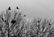 Crows flying over trees where they are nesting in early spring royalty free stock image