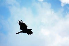 Crows flying Stock Images