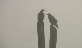 2 birds perched in the fog. 2 crows in the fog standing on posts Royalty Free Stock Images