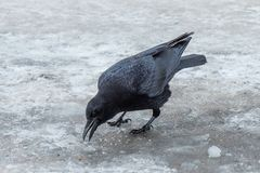Crows foraging in the snow. Crows in the snow,The crow,The snow,The branches of the,static,Crows foraging in the snow stock image