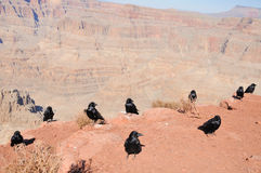 CROWS of Grand Canyon Royalty Free Stock Images
