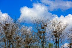 Crows in grove. Many nests of a colony of rooks or crows in grove royalty free stock photography