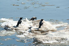 Crows on ice Stock Image