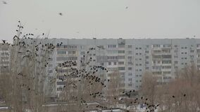 Crows invasion in the city, trees filled with black birds thousands of ravens