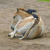 Crows on kulan' backs Royalty Free Stock Photography