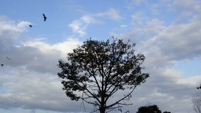 Crows leaving a tree. Crows leaving and flying away from a tree under cloudy sky at dusk stock video