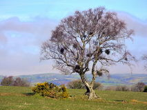 Crows nests and gorse Stock Photos