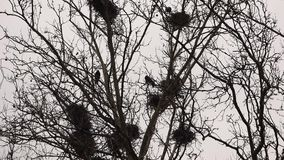 Crows in nests on tree stock video footage