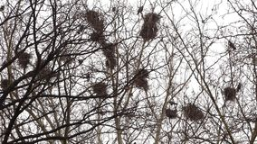 Crows in nests on tree stock video