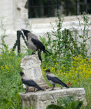 Crows on the old tomb. Crow and two fledgeling sit on an old tomb near the church Royalty Free Stock Photography