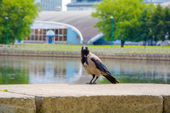 Crows in the Park. Bird at a waterfall. a crow is resting in the Park by the pond Stock Photos