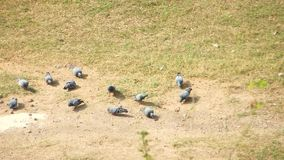 Crows pecking with Group of pigeons pecking in the grass ground. Video animal urban life wild life stock footage