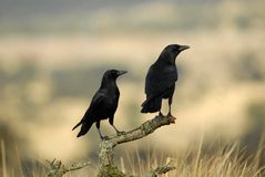 Crows perched on a natural host Stock Image