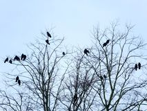 Crows perched roosting in a tree in winter with pale blue sky Stock Photo