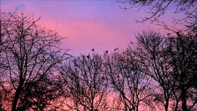 Crows raven on tree flying away - background red clouds. Crows on tree flying away, raven, black birds, sunset, background red clouds stock video footage