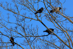 Crows and Rooks Royalty Free Stock Photo