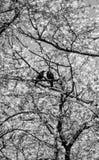 Crows on sakura tree Royalty Free Stock Image