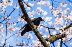 Crows on sakura tree Royalty Free Stock Photos