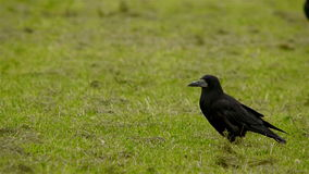 Crows searching for food stock video footage