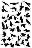 Crows silhouettes Stock Images