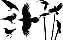 Crows silhouettes Stock Image