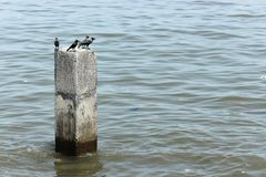 Crows sit on top of a concrete wall at the Arabian Sea royalty free stock photo