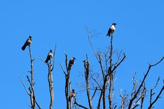 Crows sit on the tree and talk. A flock of crows talking on top of dry wood Stock Images