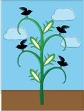 Crows sitting cornstalk offset coloring Stock Photos