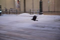 Crows flying in the street stock photos