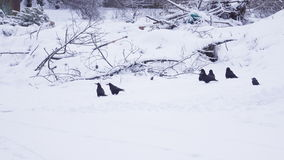 Crows on snow in winter. Pigeons are looking for food on ground thawed in middle of snow stock video