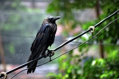Crows standing in the rain on the branch stock photography