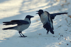 Crows  swear on white winter snow. Crows  swear on the white winter snow Stock Photography