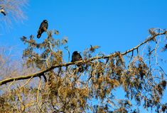Crows on a thuja tree branch Royalty Free Stock Photos
