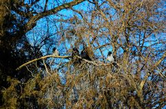 Crows on a thuja tree branch Stock Photos