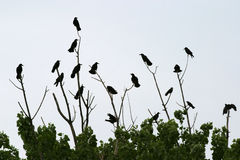 Crows in tree. Group of crows sitting on a tree top Stock Image